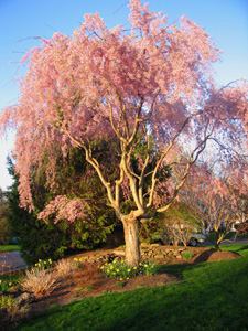 weeping cherry in our front yard