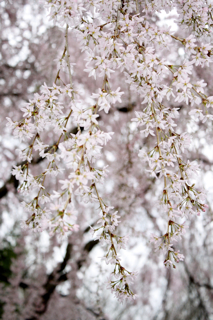 our weeping cherry in 2012